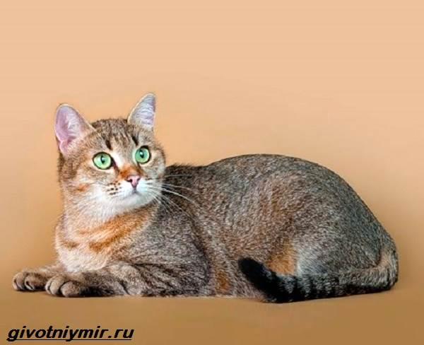 Кельтская-кошка-Описание-особенности-уход-и-цена-кельтской-кошки-2