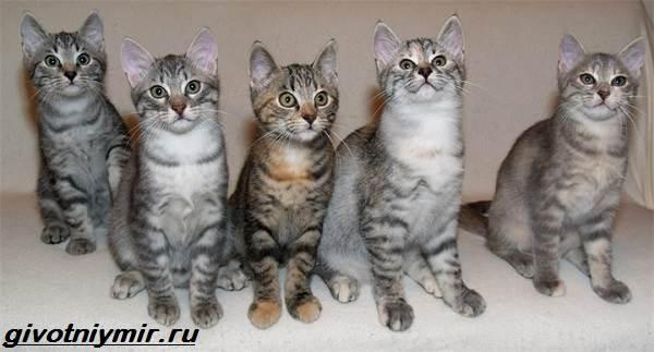 Кельтская-кошка-Описание-особенности-уход-и-цена-кельтской-кошки-3