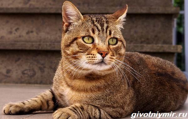 Кельтская-кошка-Описание-особенности-уход-и-цена-кельтской-кошки-4