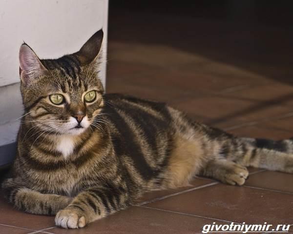 Кельтская-кошка-Описание-особенности-уход-и-цена-кельтской-кошки-5