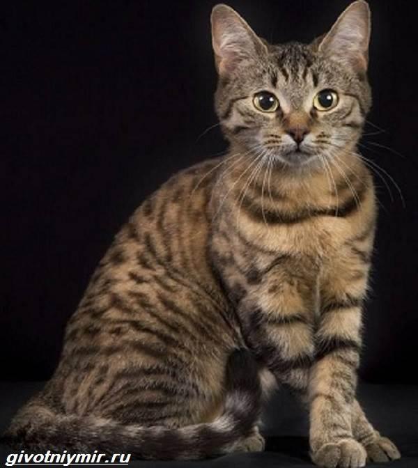 Кельтская-кошка-Описание-особенности-уход-и-цена-кельтской-кошки-6