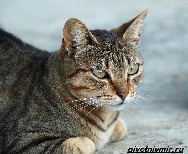 Кельтская-кошка-Описание-особенности-уход-и-цена-кельтской-кошки-7