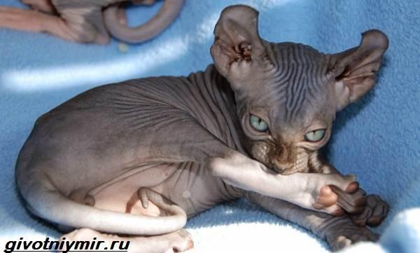 Кошка-эльф-Описание-особенности-уход-и-цена-кошки-эльф-1