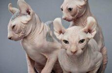Кошка эльф. Описание, особенности, уход и цена кошки эльф
