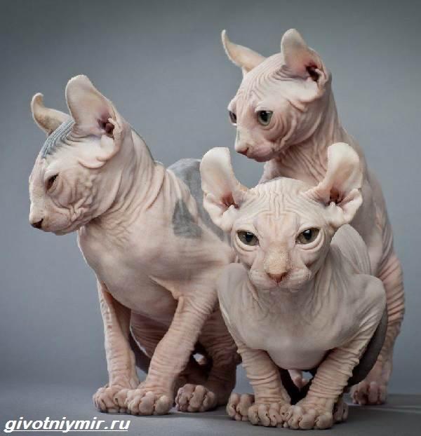 Кошка-эльф-Описание-особенности-уход-и-цена-кошки-эльф-2