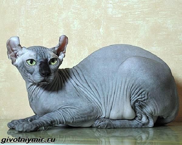 Кошка-эльф-Описание-особенности-уход-и-цена-кошки-эльф-4