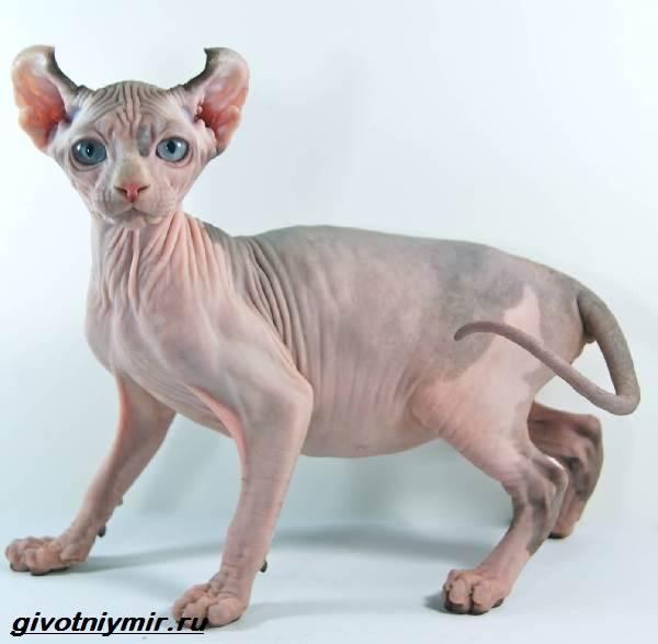 Кошка-эльф-Описание-особенности-уход-и-цена-кошки-эльф-5