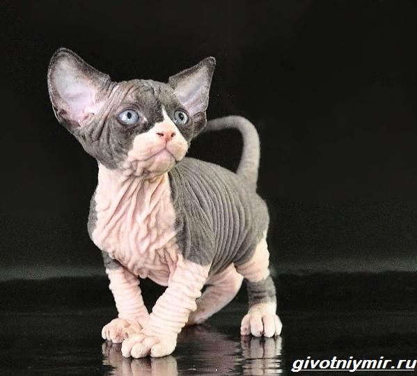 Кошка-эльф-Описание-особенности-уход-и-цена-кошки-эльф-6