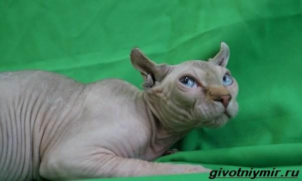 Кошка-эльф-Описание-особенности-уход-и-цена-кошки-эльф-7