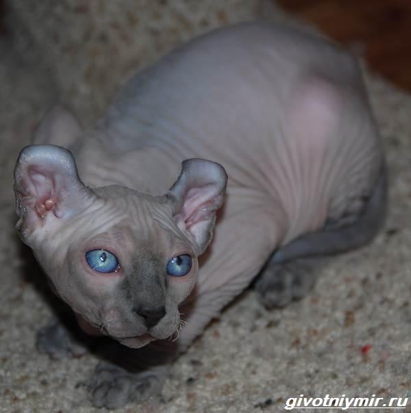 Кошка-эльф-Описание-особенности-уход-и-цена-кошки-эльф-8