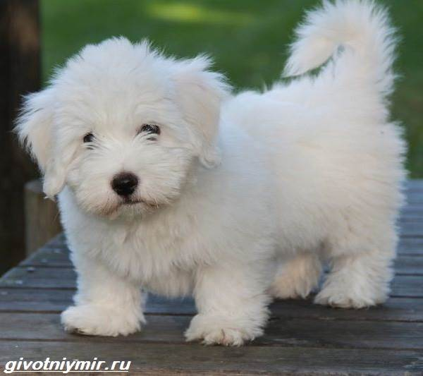 Котон-де-тулеар-собака-Описание-особенности-уход-и-цена-породы-котон-де-тулеар-1