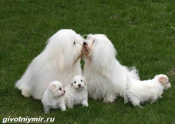 Котон-де-тулеар-собака-Описание-особенности-уход-и-цена-породы-котон-де-тулеар-2