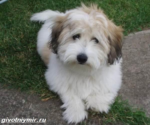 Котон-де-тулеар-собака-Описание-особенности-уход-и-цена-породы-котон-де-тулеар-3