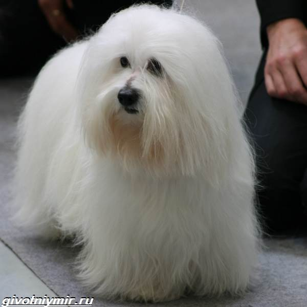 Котон-де-тулеар-собака-Описание-особенности-уход-и-цена-породы-котон-де-тулеар-4