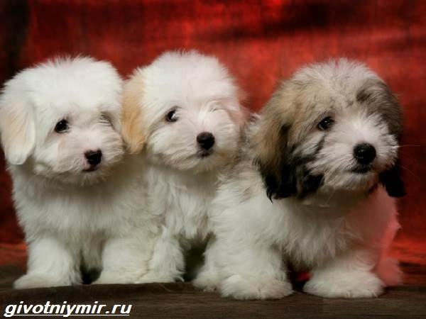 Котон-де-тулеар-собака-Описание-особенности-уход-и-цена-породы-котон-де-тулеар-5