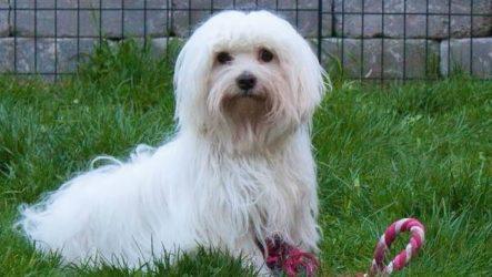 Котон де тулеар собака. Описание, особенности, уход и цена породы котон де тулеар