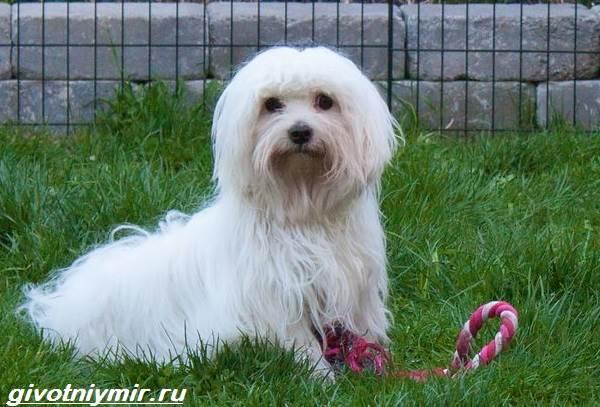 Котон-де-тулеар-собака-Описание-особенности-уход-и-цена-породы-котон-де-тулеар-6