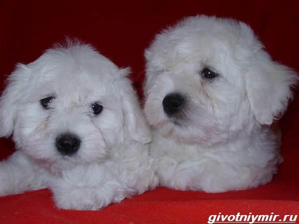 Котон-де-тулеар-собака-Описание-особенности-уход-и-цена-породы-котон-де-тулеар-7