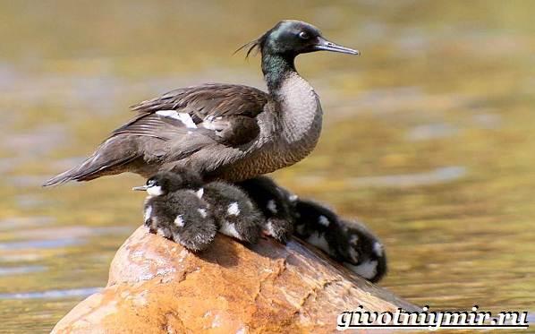 Крохаль-утка-птица-Образ-жизни-и-среда-обитания-утки-крохаль-11