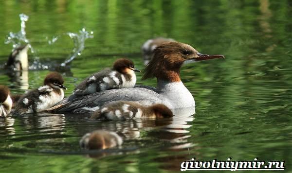 Крохаль-утка-птица-Образ-жизни-и-среда-обитания-утки-крохаль-3
