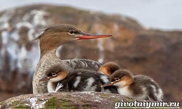 Крохаль-утка-птица-Образ-жизни-и-среда-обитания-утки-крохаль-9