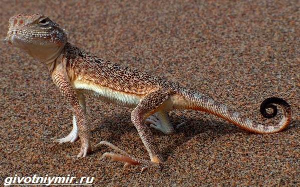 Круглоголовка-ящерица-Образ-жизни-и-среда-обитания-круглоголовки-2