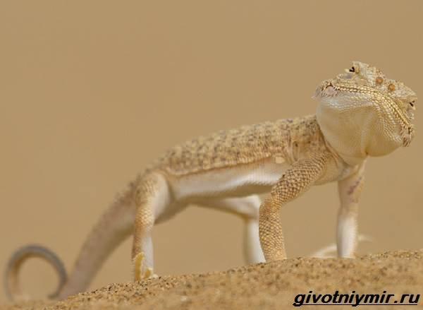 Круглоголовка-ящерица-Образ-жизни-и-среда-обитания-круглоголовки-3