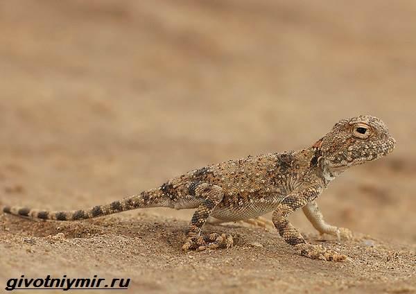 Круглоголовка-ящерица-Образ-жизни-и-среда-обитания-круглоголовки-6