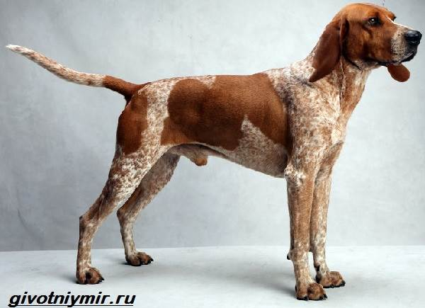 Кунхаунд-собака-Описание-особенности-уход-и-цена-кунхаунда-2