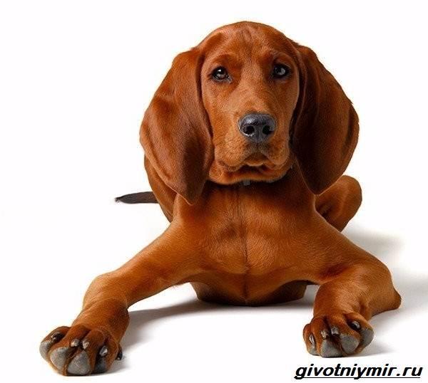 Кунхаунд-собака-Описание-особенности-уход-и-цена-кунхаунда-3