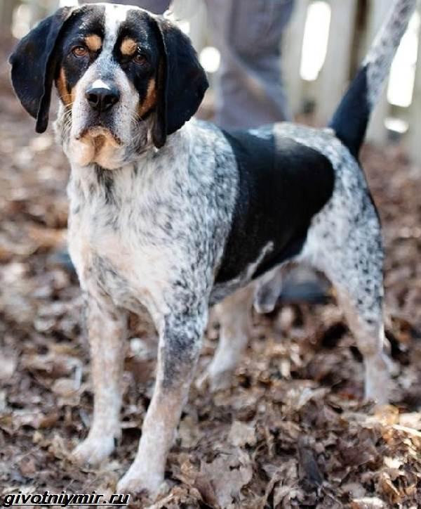 Кунхаунд-собака-Описание-особенности-уход-и-цена-кунхаунда-4