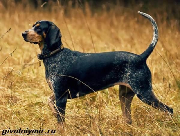 Кунхаунд-собака-Описание-особенности-уход-и-цена-кунхаунда-6