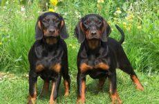 Кунхаунд собака. Описание, особенности, уход и цена кунхаунда