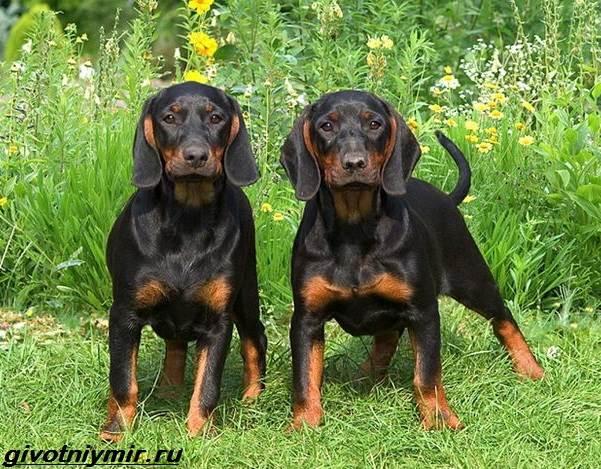Кунхаунд-собака-Описание-особенности-уход-и-цена-кунхаунда-8