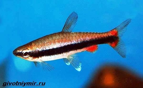 Нанностомус-рыбка-Описание-особенности-виды-и-уход-за-нанностомусом-1