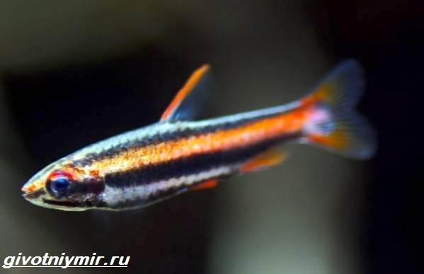 Нанностомус-рыбка-Описание-особенности-виды-и-уход-за-нанностомусом-3