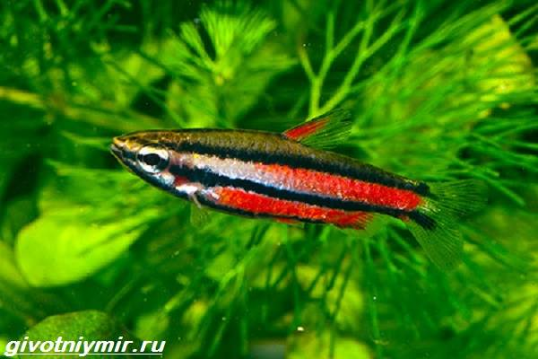Нанностомус-рыбка-Описание-особенности-виды-и-уход-за-нанностомусом-6