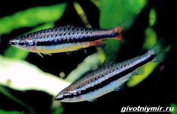 Нанностомус-рыбка-Описание-особенности-виды-и-уход-за-нанностомусом-8