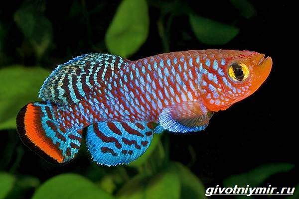 Нотобранхиус-рыбка-Описание-особенности-виды-и-уход-за-нотобранхиусом-1