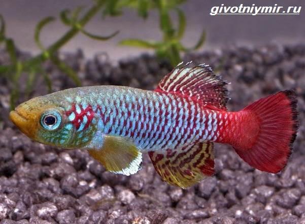 Нотобранхиус-рыбка-Описание-особенности-виды-и-уход-за-нотобранхиусом-2