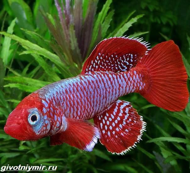 Нотобранхиус-рыбка-Описание-особенности-виды-и-уход-за-нотобранхиусом-3