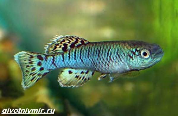 Нотобранхиус-рыбка-Описание-особенности-виды-и-уход-за-нотобранхиусом-4