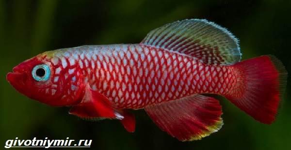Нотобранхиус-рыбка-Описание-особенности-виды-и-уход-за-нотобранхиусом-5
