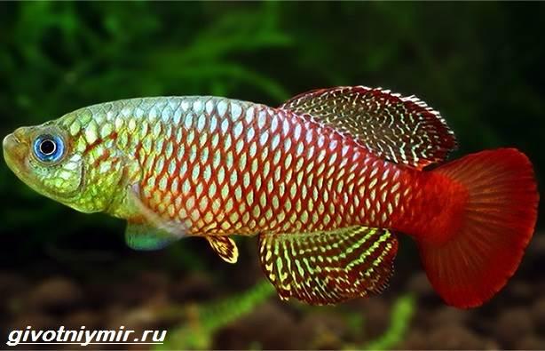 Нотобранхиус-рыбка-Описание-особенности-виды-и-уход-за-нотобранхиусом-8