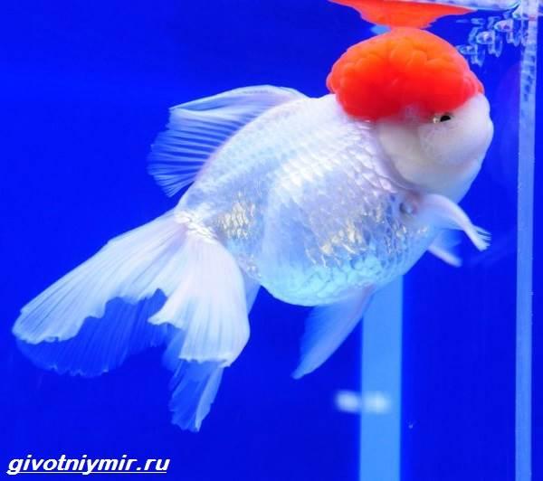 Оранда-рыбка-Описание-особенности-уход-и-совместимость-оранды-2