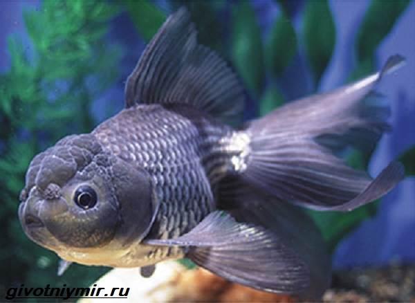 Оранда-рыбка-Описание-особенности-уход-и-совместимость-оранды-3
