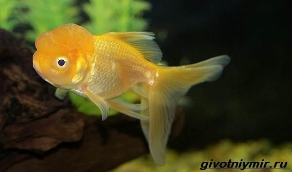 Оранда-рыбка-Описание-особенности-уход-и-совместимость-оранды-5