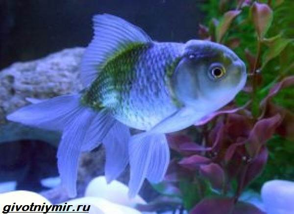 Оранда-рыбка-Описание-особенности-уход-и-совместимость-оранды-8