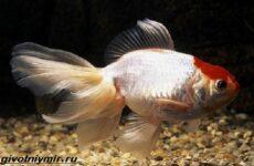 Оранда рыбка. Описание, особенности, уход и совместимость оранды