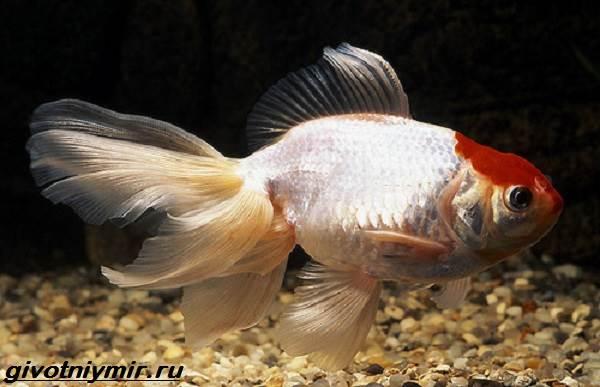Оранда-рыбка-Описание-особенности-уход-и-совместимость-оранды-9
